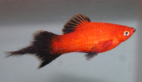 goliad farms platy